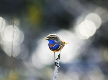 portrait of a little bird, the Bluethroat on the branch in the bright Sunny glare