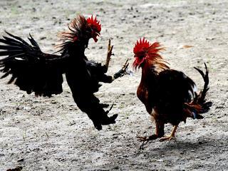 """Walki kogutów na Bali. """"Bogowie wymagają rozlewu krwi"""""""