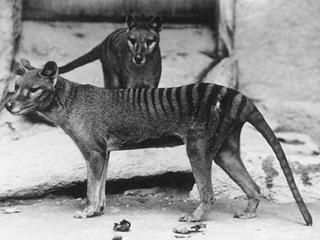 Wycie zza grobu, czyli tajemnice wymarłego wilkowora tasmańskiego