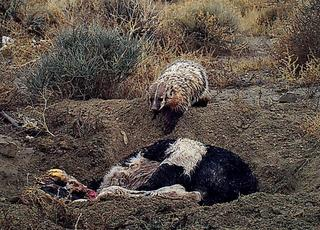 Znikające krowy