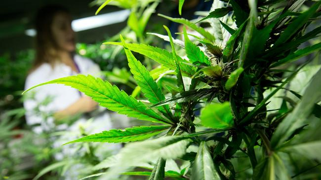 medyczna marihuana plantacje roślinka