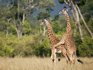 Dlaczego żyrafy niesąsexy