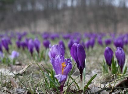 krokus wiosna krokusy