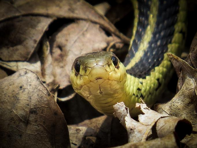 Węże pończoszniki