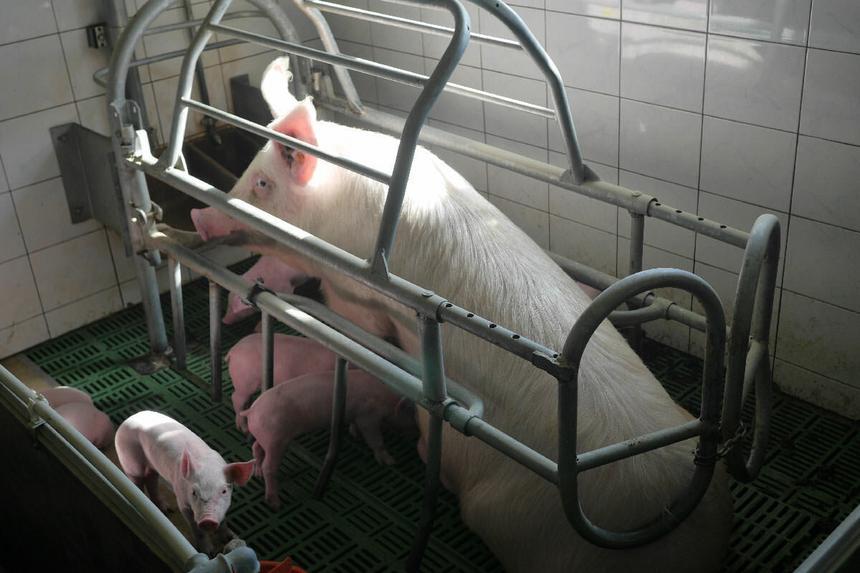 Betonowa posadzka powoduje u zwierząt zranienia, kulawiznę, trudności ze wstawaniem i kładzeniem się.
