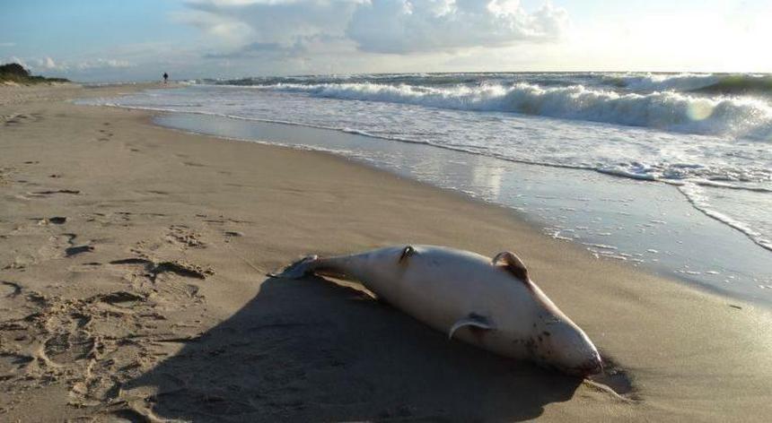 Martwy morświn na bałtyckiej plaży