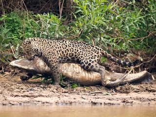 Atak jaguara