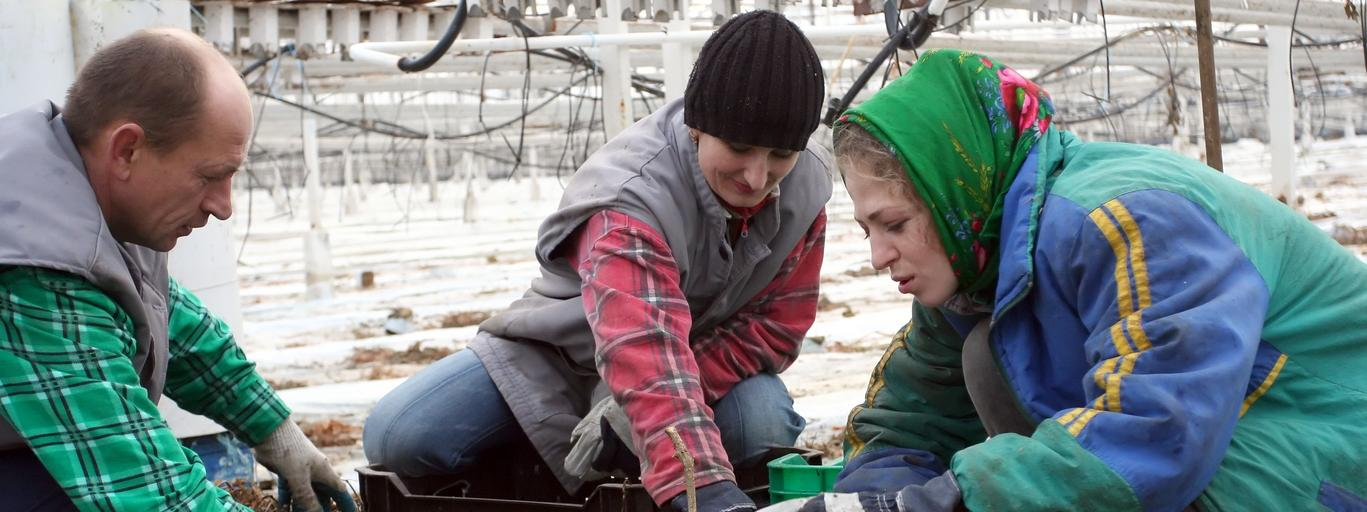 Robotnicy z Winnicy na Ukrainie pracują w Gospodarstwie Ogrodniczym w Różankach