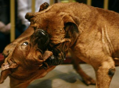 walki psów walka ring psy