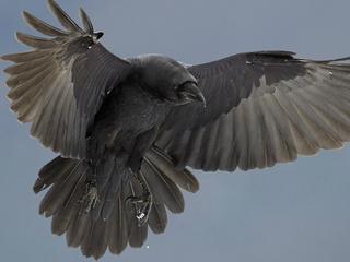 Król ptaków