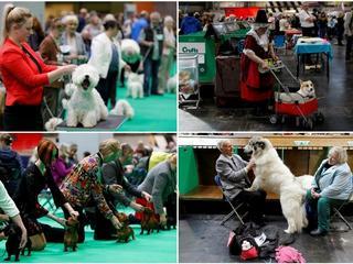 Psie piękności w Birmingham