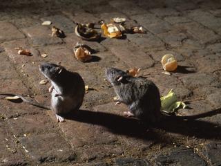 Słodki sposób nabezpłodne szczury