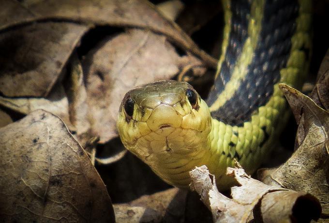 Dlaczego samce węży udają samice, czyli sekrety intymnego życia zwierząt