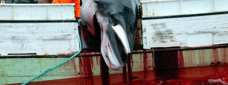 Wieloryby Norwegia rybacy rybołówstwo
