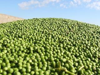 Zielony groszek, czyli najpiękniejsza obietnica lata