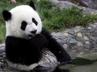 Mała panda wielka w warszawskim zoo