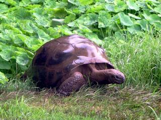 Najstarszy żółw świata może być gejem