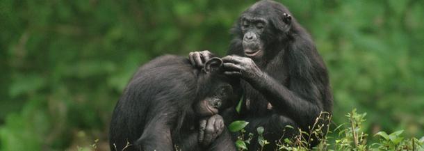 bonobo, szympans, małpa