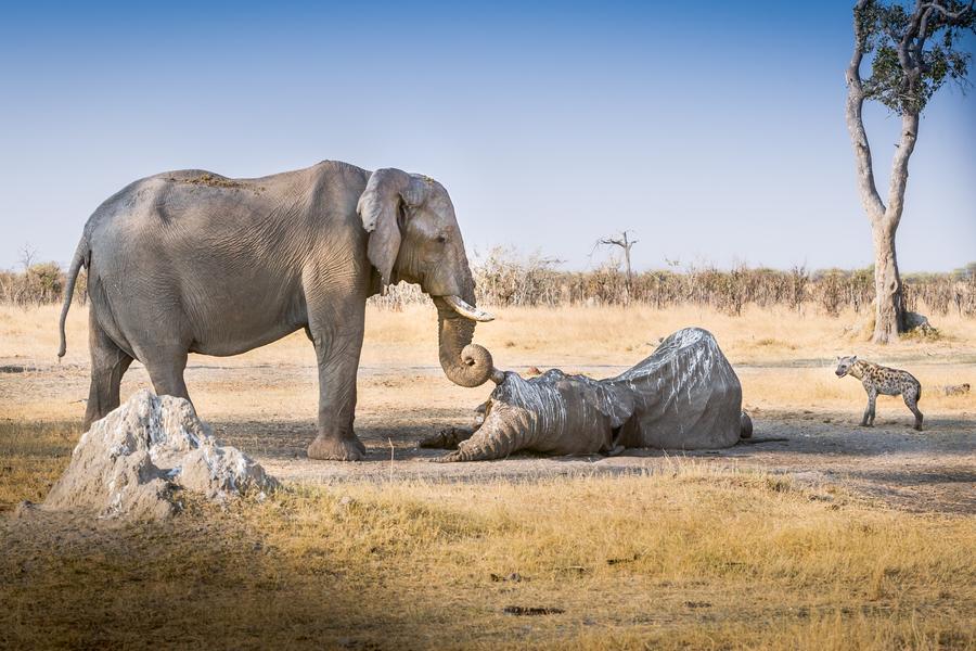 żałoba słonie zwierzęta