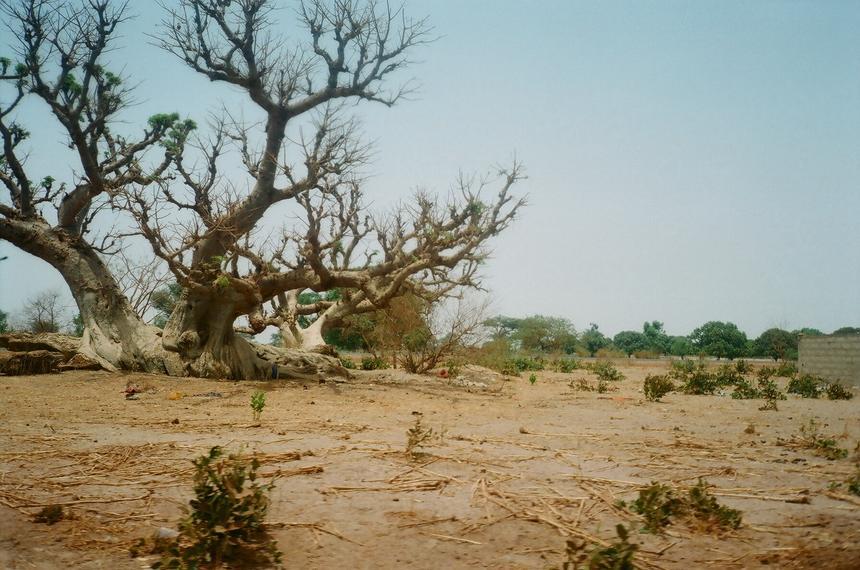 Roślinność na trasie z Senegalu do Gambii to w większości suche trawy i rozłożyste baobaby.