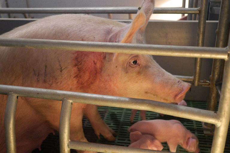 świnie, klatki, hodowla, fermy