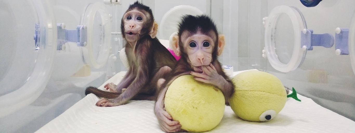 Małpki Zhong Zgong i Huo Huo - pierwsze sklonowane naczelne