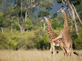 Żyrafom, podobnie jaksłoniom czynosorożcom, grozi wyginięcie