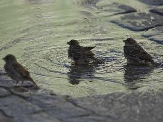 Naukowcy: Ptaki też opłakują swoich zmarłych