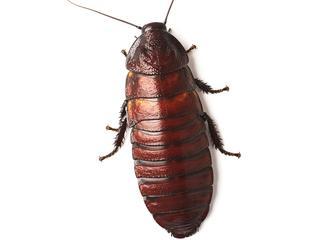 Seksmisja karalucha