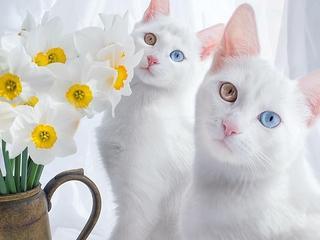 Te bliźniaki zostały okrzyknięte najpiękniejszymi kotami na świecie