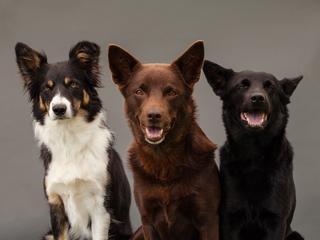 Kundle są mądrzejsze niż psy rasowe. Dlaczego?