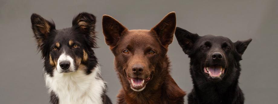 psy pies kundle kundel mieszaniec