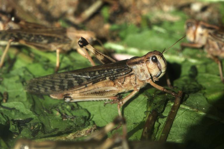szarańcza owad insekt