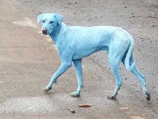 Koszmar ekologów. Niebieskie psy na ulicach Bombaju