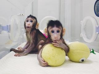 Pierwsze klony naczelnych. W Szanghaju przyszło na świat sklonowane rodzeństwo małpek