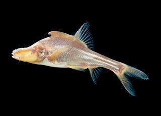 Chuda ryba