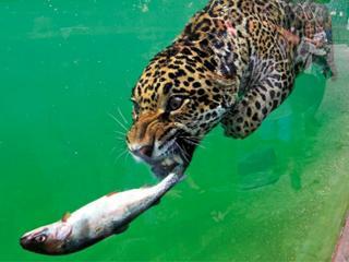 Cętkowany pływak drapieżnik