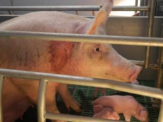 Zobacz, jak traktowane są zwierzęta, nim trafią na stół [DRASTYCZNE ZDJĘCIA]