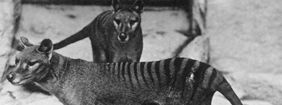 Tygrysy tasmańskie