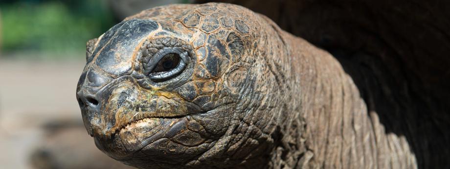 Move of the Aldabra giant tortoises