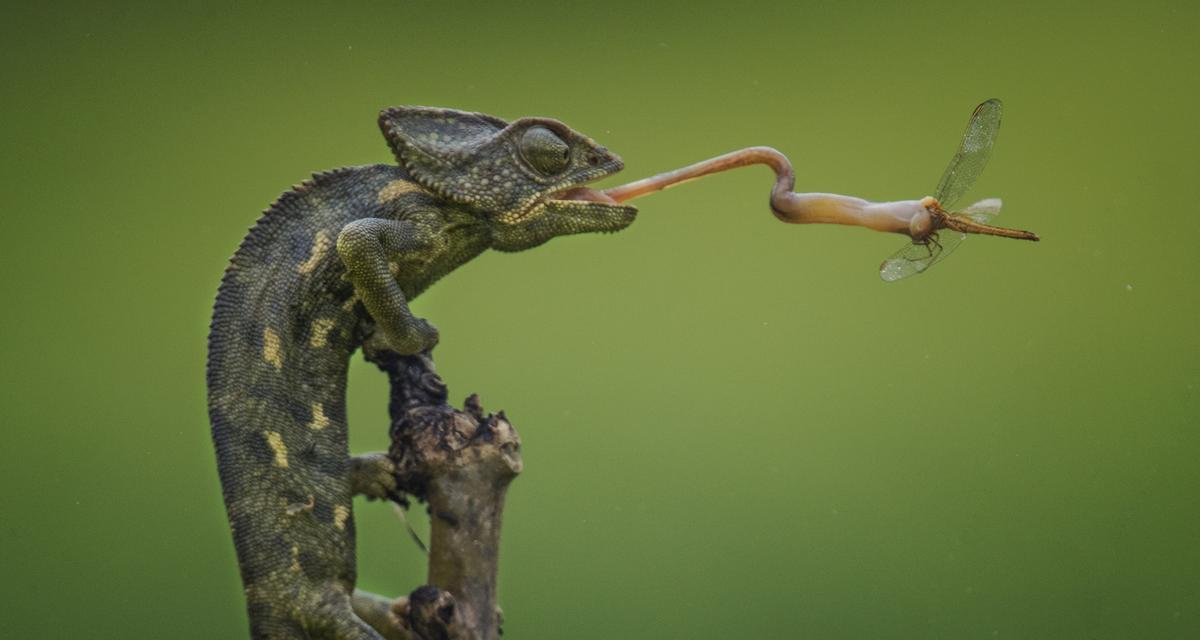 Zabójczy język kameleona