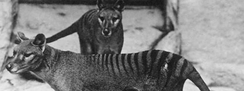 Wilkowory tasmańskie