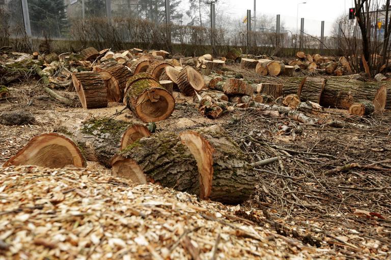 Drzewa lasy wycinka drzew lex Szyszko ochrona przyrody Łeba