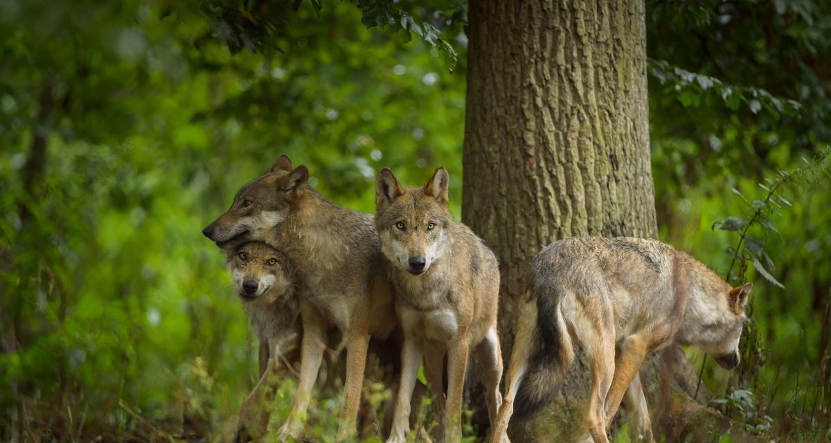 Sprawiedliwy jak wilk