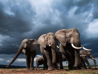 Czy da się jeszcze uratować słonie?