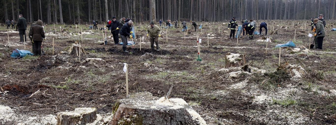 sadzenie drzew Puszcza Białowieska