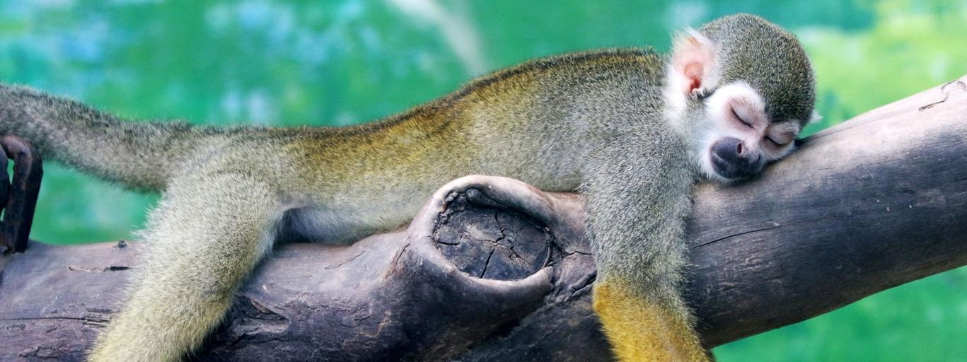 A squirrel monkey rests on a tree branch on a hot day at a zoo in Zhengzhou
