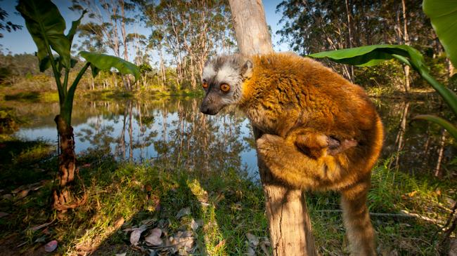Red-fronted Brown Lemur with infant Madagascar