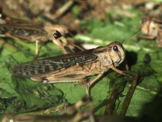 Żarłoczne insekty doprowadzą do głodu?