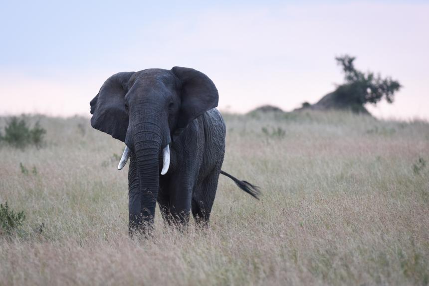 Słoń w Parku Narodowym Maasai Mara w Kenii